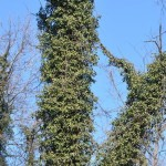 Invasive Plants: English Ivy Replacements